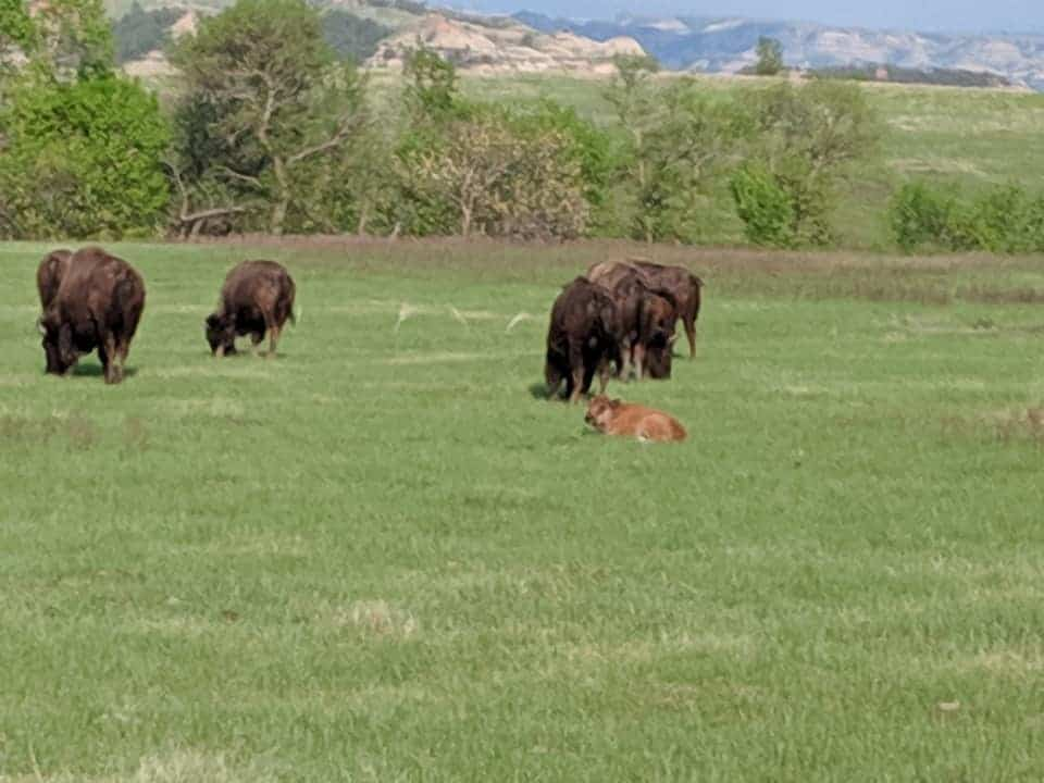 Bison with calves grazing in a grass field