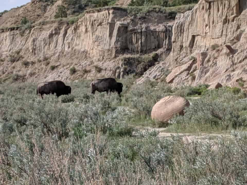 Bison grazing and a large ball shaped rock nearby