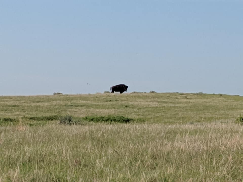 A large bison in the distance in profile but head is directed toward camera. Bison is standing in the middle of a flat prairie. Grasses are brown and green. Sky is clear blue.