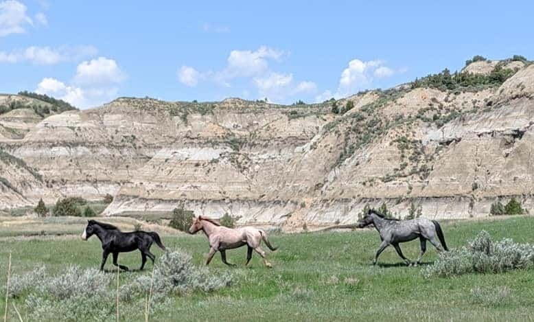 Wild horses running in Theodore Roosevelt National Park. The lead horse on the right is all black with a white muzzle, there is a pink colored horse behind him and bit further back is a grey horse. They are running on grass and there are several bushes between them and the camera. In the background are large mountains with stripes of colors in hues of whites, reds, and browns. There are trees speckled on the mountains.
